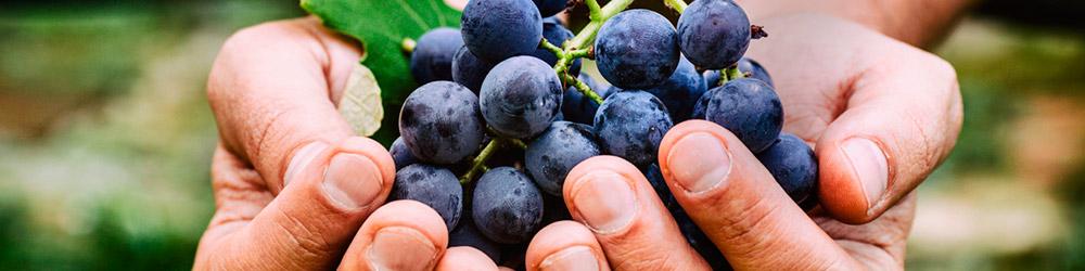 Bairro do Tatuapé foi pioneiro no cultivo de uva no país